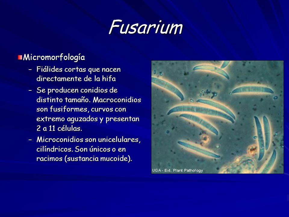 Fusarium Micromorfología