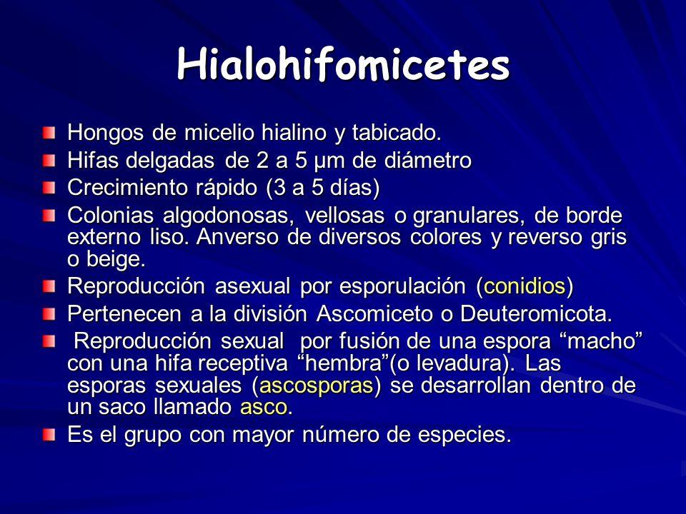 Hialohifomicetes Hongos de micelio hialino y tabicado.