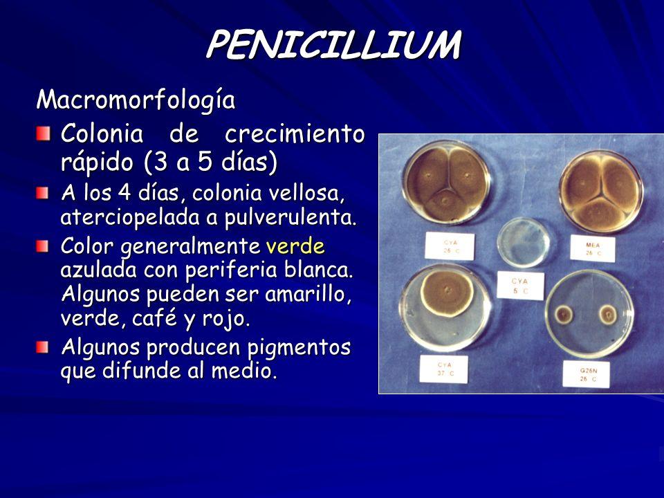 PENICILLIUM Macromorfología Colonia de crecimiento rápido (3 a 5 días)