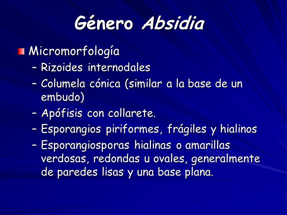 Género Absidia Micromorfología Rizoides internodales