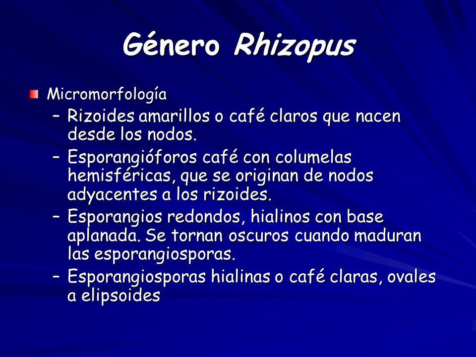 Género Rhizopus Micromorfología. Rizoides amarillos o café claros que nacen desde los nodos.
