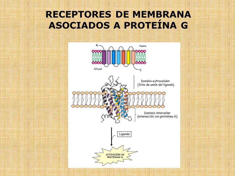 RECEPTORES DE MEMBRANA ASOCIADOS A PROTEÍNA G