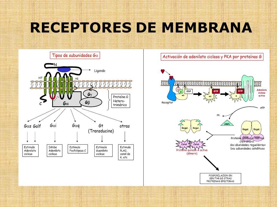 RECEPTORES DE MEMBRANA