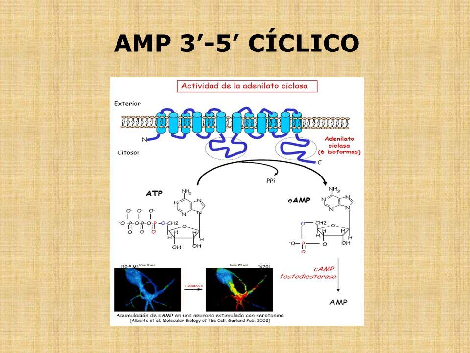 AMP 3'-5' CÍCLICO