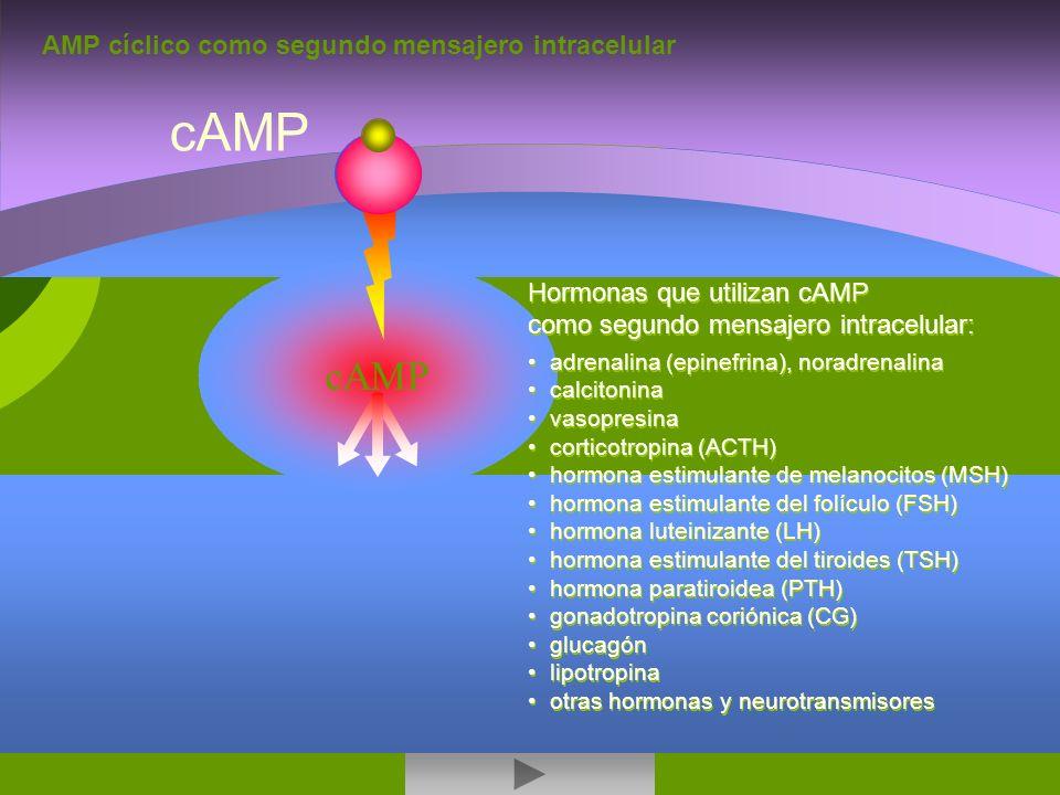 cAMP cAMP AMP cíclico como segundo mensajero intracelular