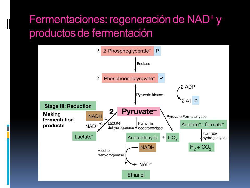 Fermentaciones: regeneración de NAD+ y productos de fermentación
