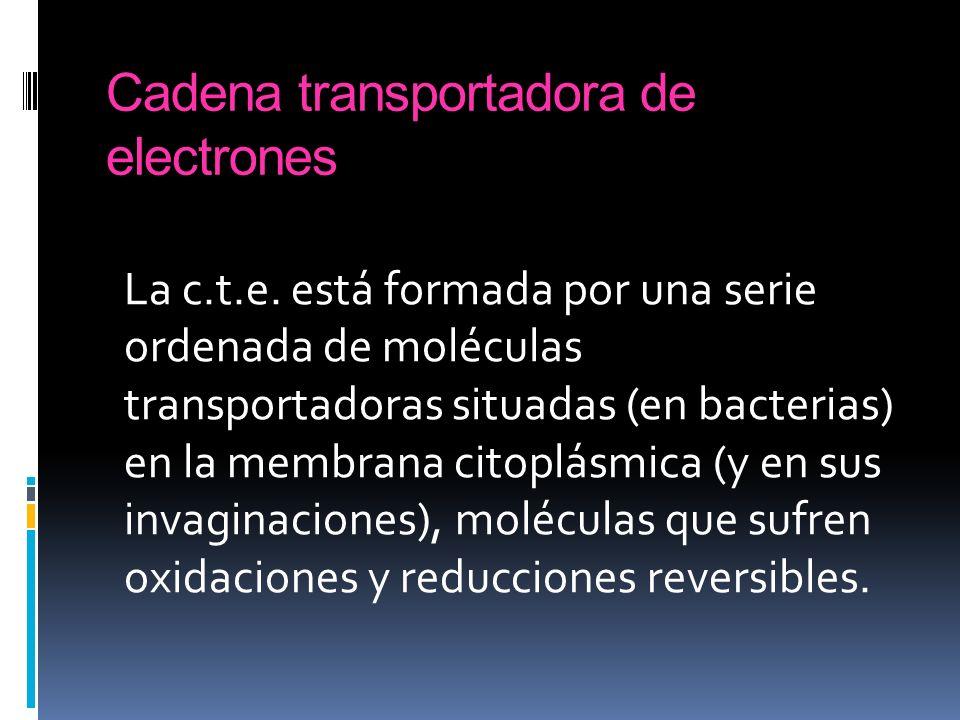 Cadena transportadora de electrones