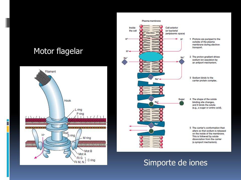 Motor flagelar Simporte de iones