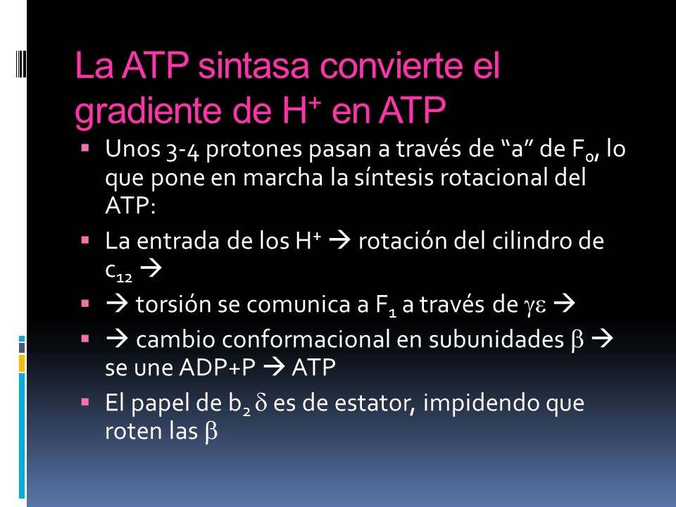 La ATP sintasa convierte el gradiente de H+ en ATP