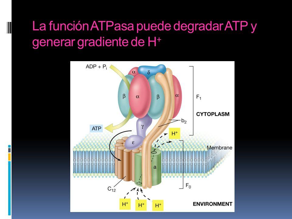 La función ATPasa puede degradar ATP y generar gradiente de H+