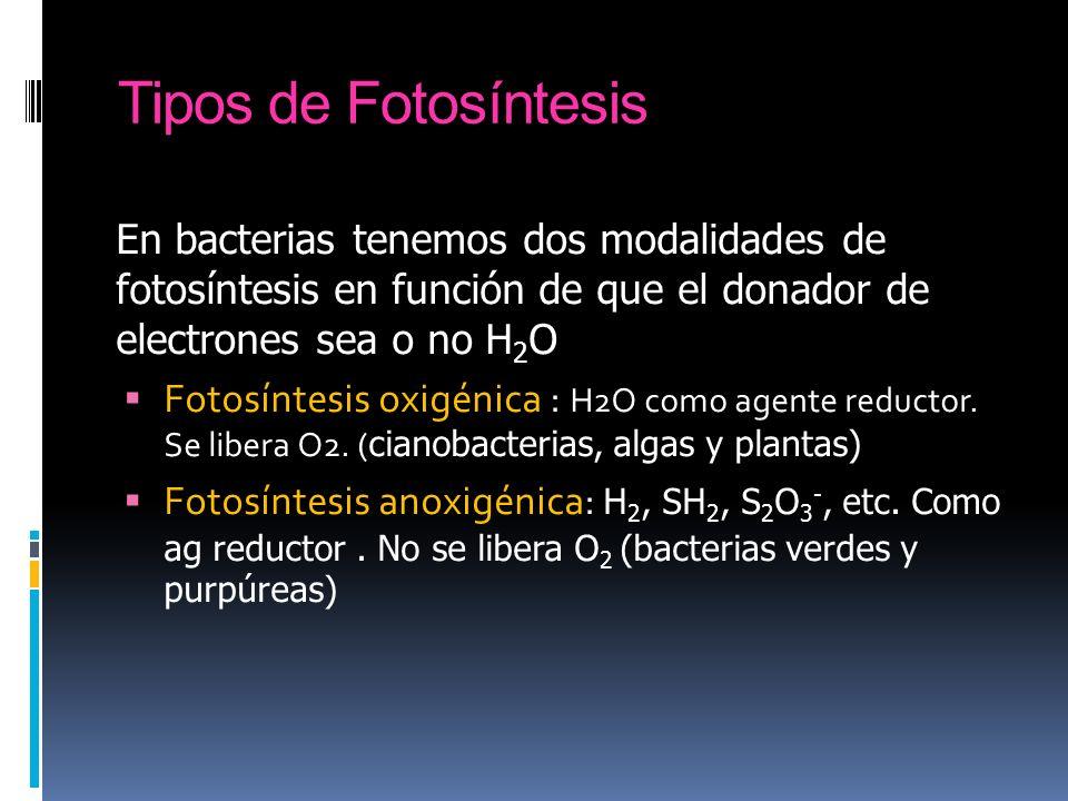 Tipos de Fotosíntesis En bacterias tenemos dos modalidades de fotosíntesis en función de que el donador de electrones sea o no H2O.