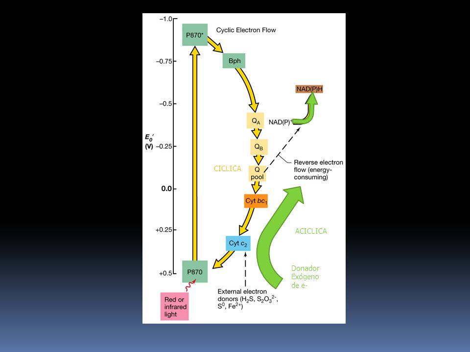 CICLICA6) Mientras tanto, el electrón de la QA pasa a una segunda ubiquinona del centro de reacción (QB).