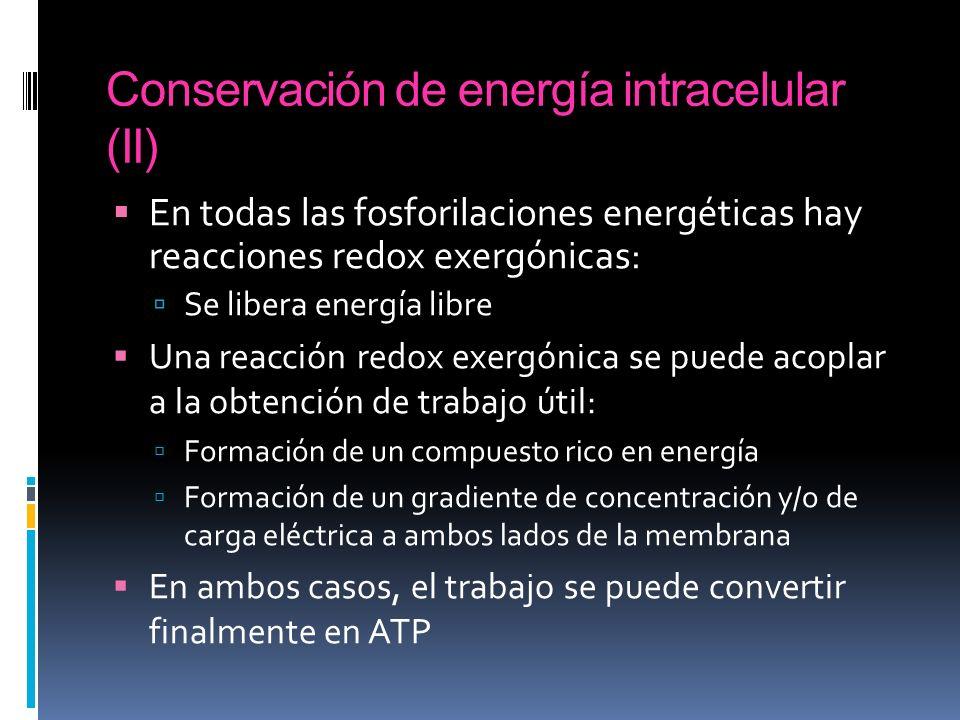 Conservación de energía intracelular (II)