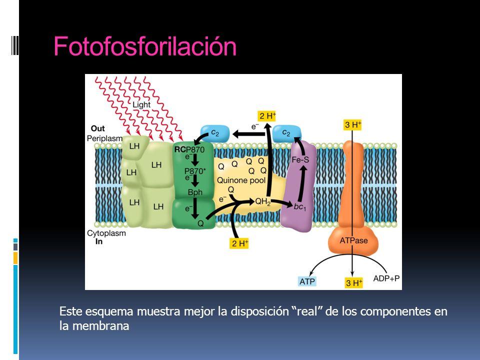Fotofosforilación Esquema de la fotofosforilación acíclica en una bacteria anoxigénica.