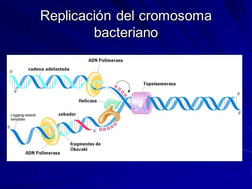 Replicación del cromosoma bacteriano
