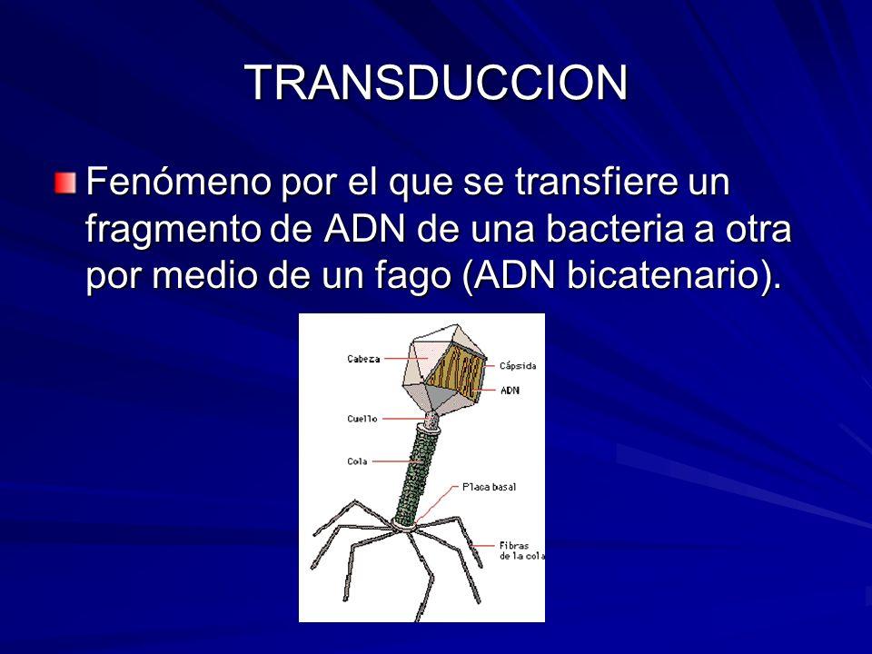 TRANSDUCCION Fenómeno por el que se transfiere un fragmento de ADN de una bacteria a otra por medio de un fago (ADN bicatenario).