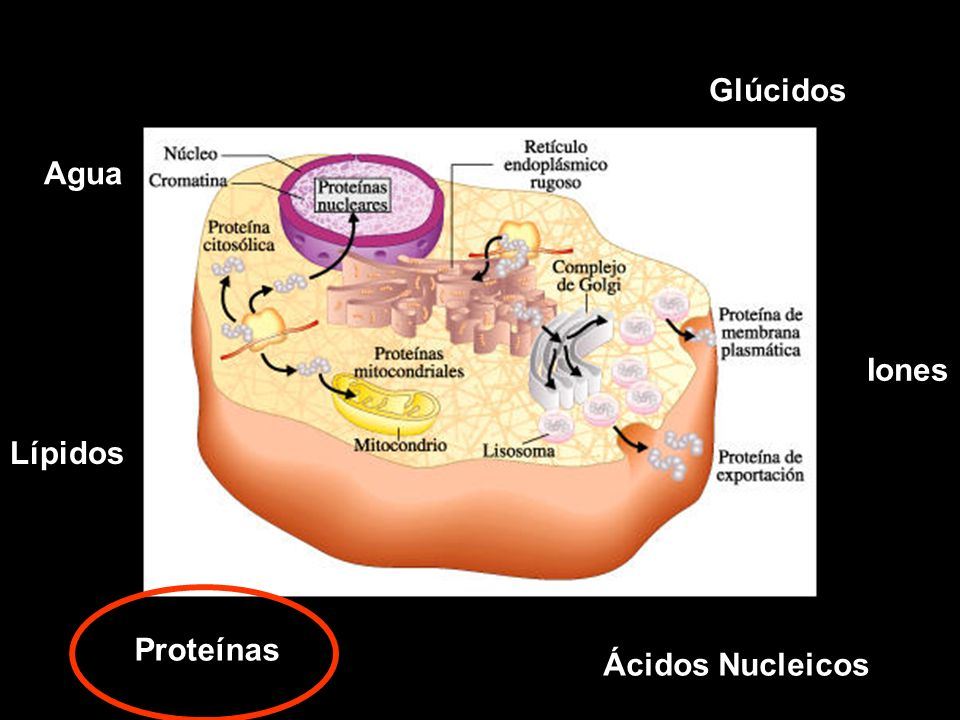 Glúcidos Agua Iones Lípidos Proteínas Ácidos Nucleicos