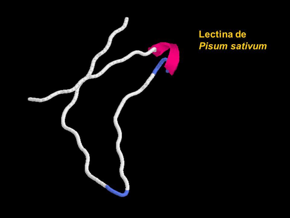 Lectina de Pisum sativum