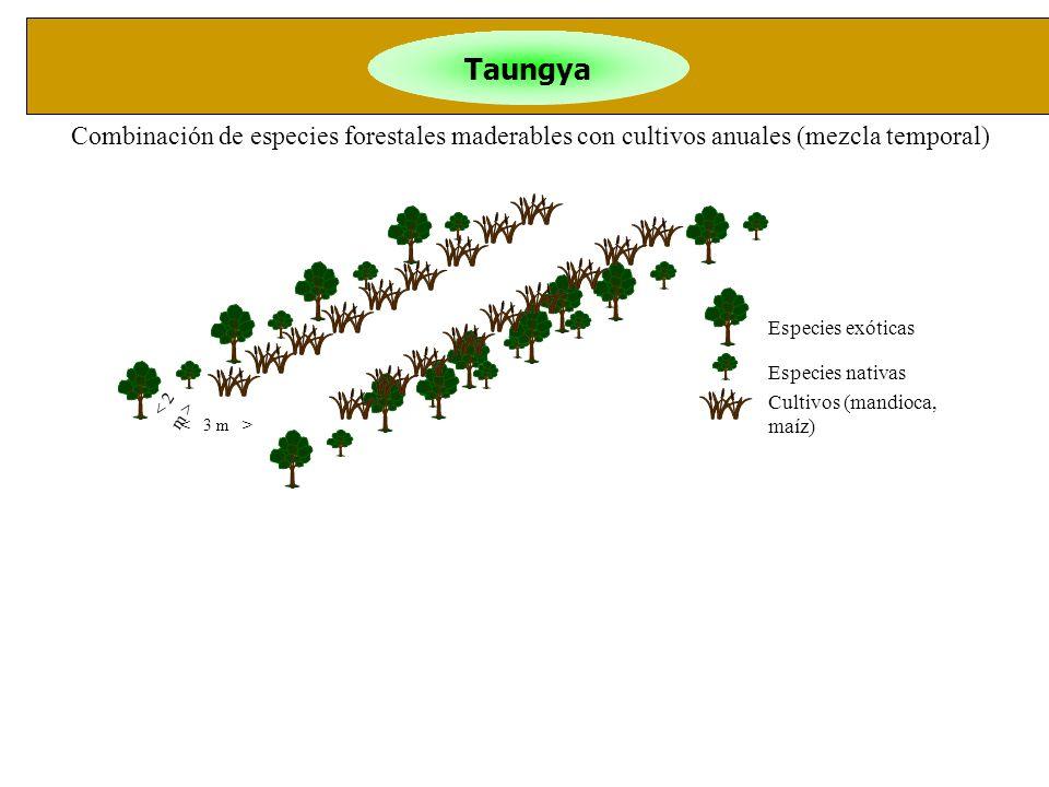 Taungya Combinación de especies forestales maderables con cultivos anuales (mezcla temporal) Especies exóticas.