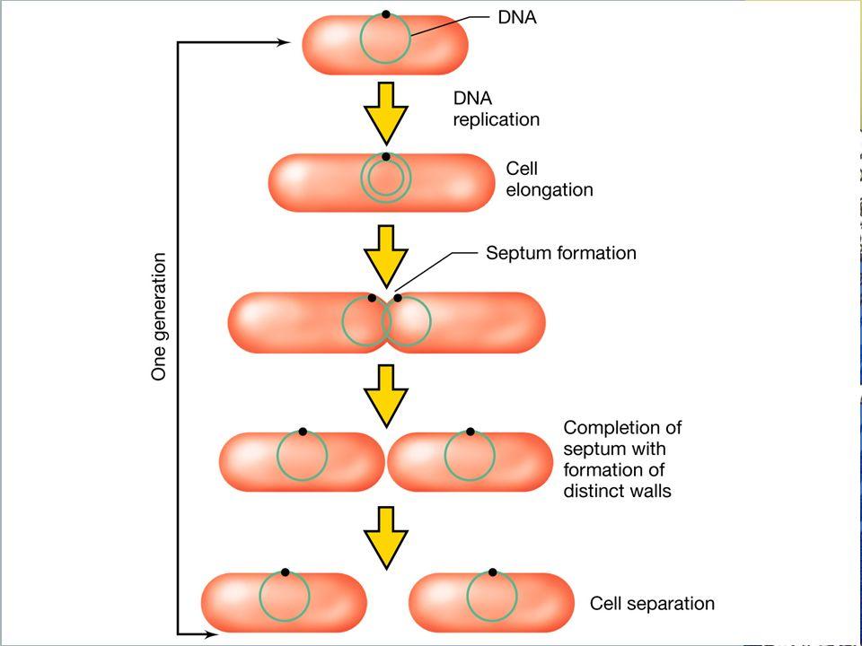 Esquema simplificado del crecimiento de una bacteria bacilar: la célula crece en tamaño, duplica el cromosoma, las copias del cromosoma se repararten a partes separadas, se forma el tabique y surgen dos células hijas.