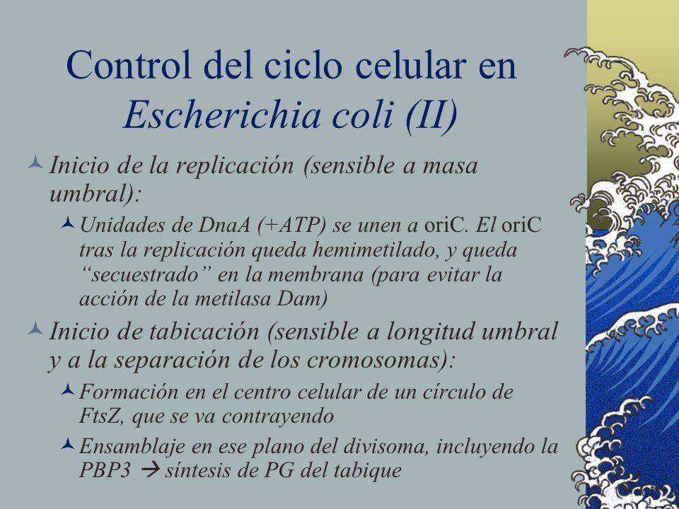 Control del ciclo celular en Escherichia coli (II)