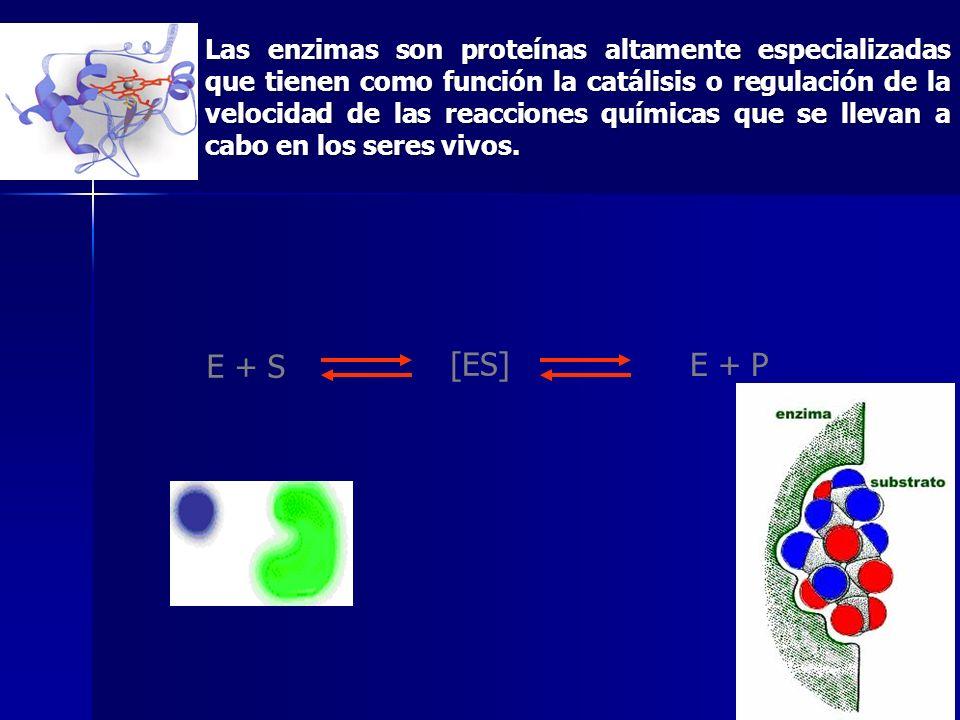 Las enzimas son proteínas altamente especializadas que tienen como función la catálisis o regulación de la velocidad de las reacciones químicas que se llevan a cabo en los seres vivos.