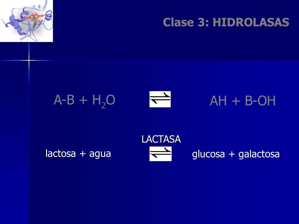 A-B + H2O AH + B-OH Clase 3: HIDROLASAS LACTASA lactosa + agua