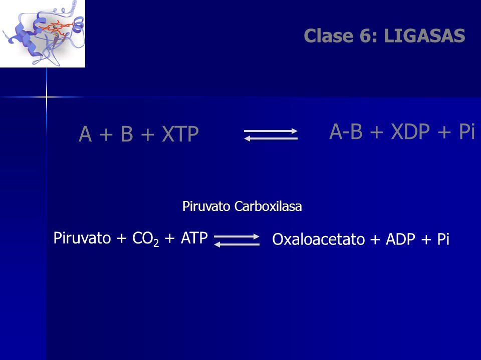 A-B + XDP + Pi A + B + XTP Clase 6: LIGASAS Oxaloacetato + ADP + Pi