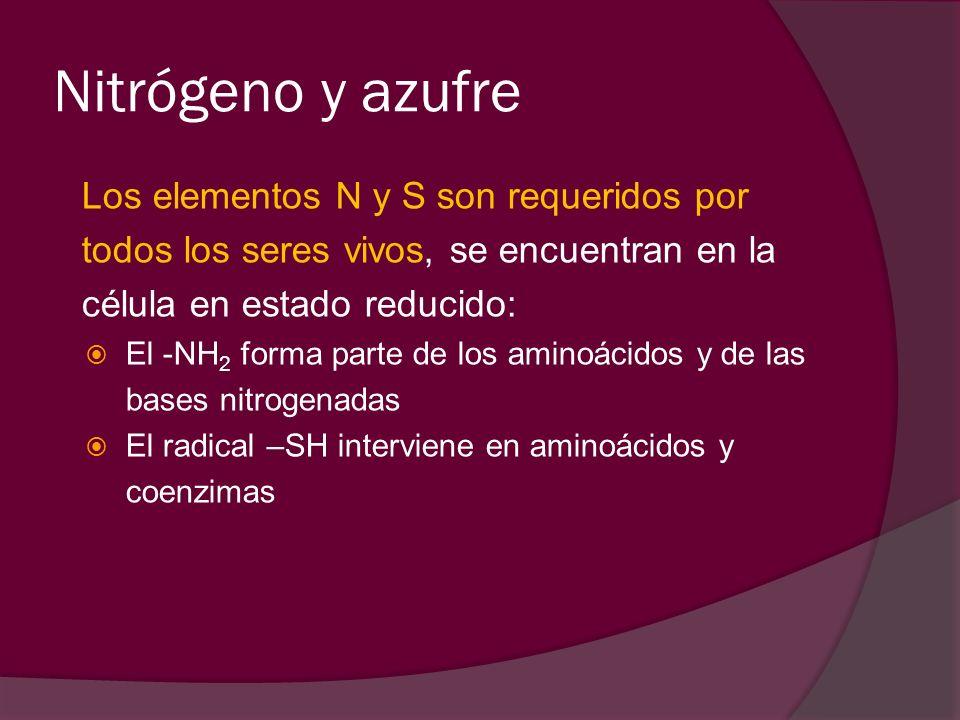 Nitrógeno y azufre Los elementos N y S son requeridos por todos los seres vivos, se encuentran en la célula en estado reducido: