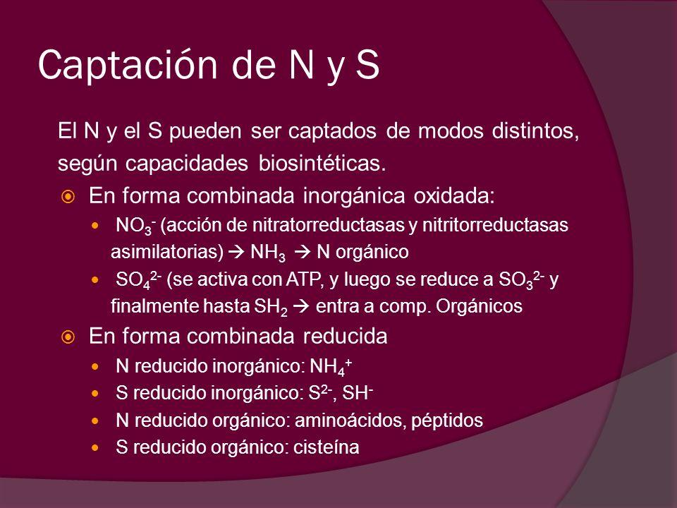 Captación de N y S El N y el S pueden ser captados de modos distintos, según capacidades biosintéticas.