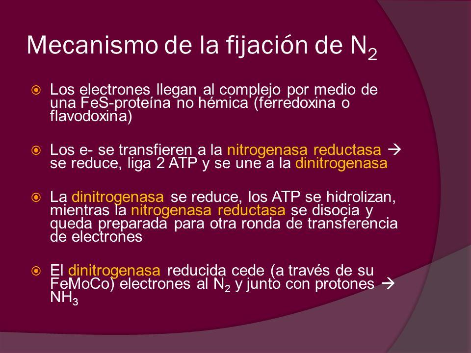 Mecanismo de la fijación de N2