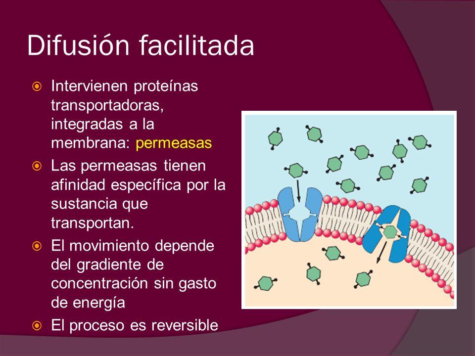 Difusión facilitadaIntervienen proteínas transportadoras, integradas a la membrana: permeasas.