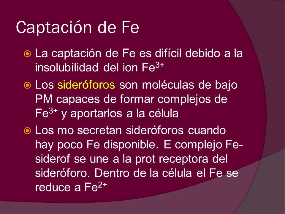 Captación de Fe La captación de Fe es difícil debido a la insolubilidad del ion Fe3+