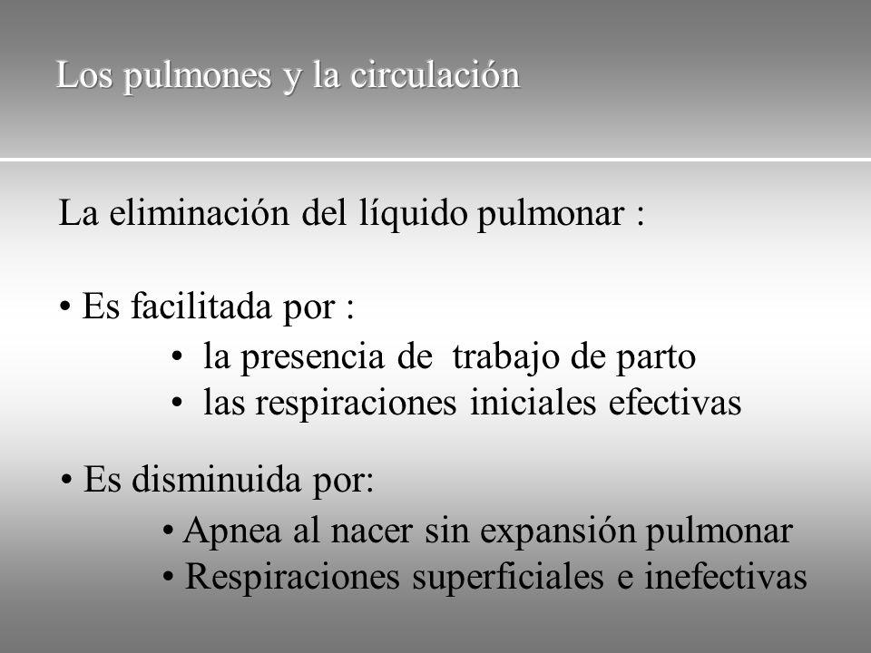Los pulmones y la circulación