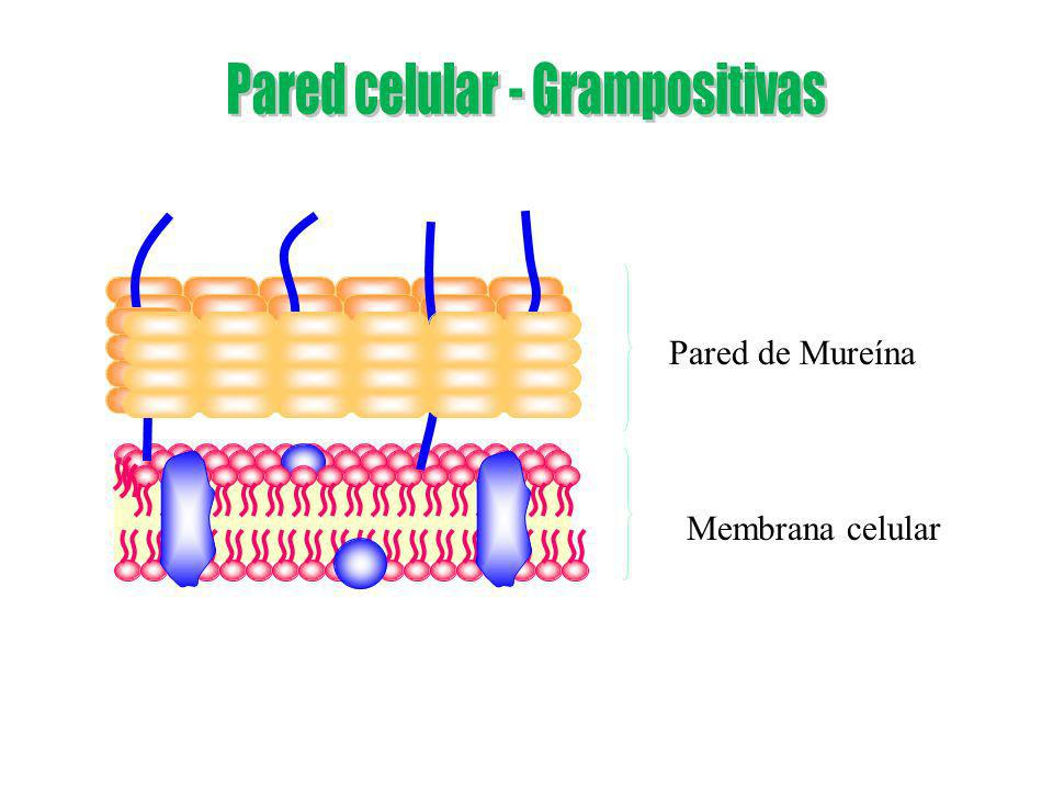 Pared celular - Grampositivas