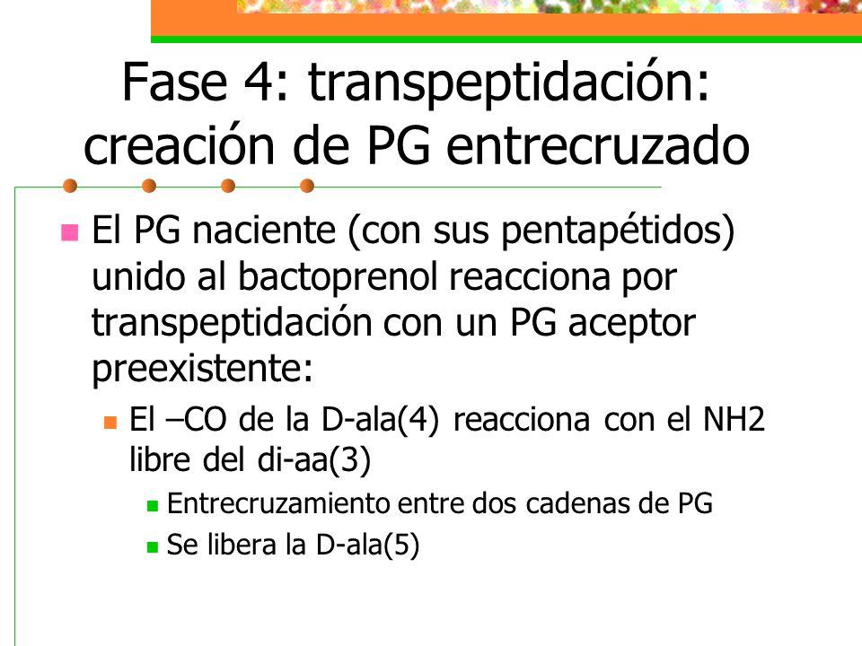 Fase 4: transpeptidación: creación de PG entrecruzado
