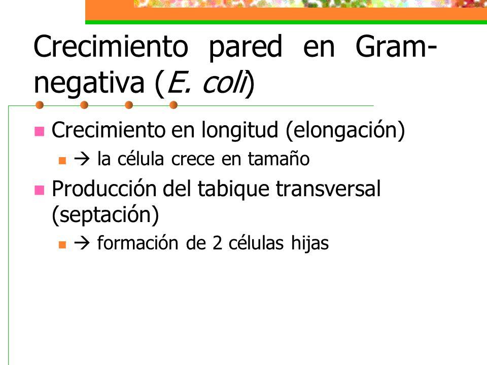 Crecimiento pared en Gram-negativa (E. coli)