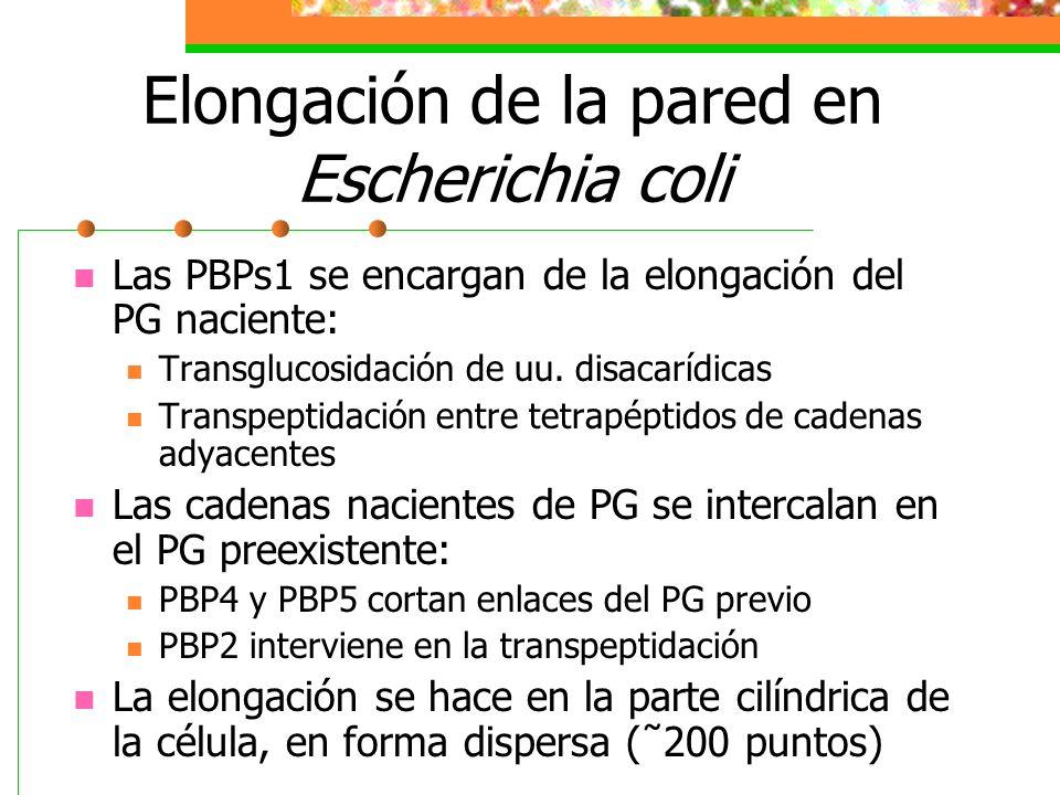 Elongación de la pared en Escherichia coli
