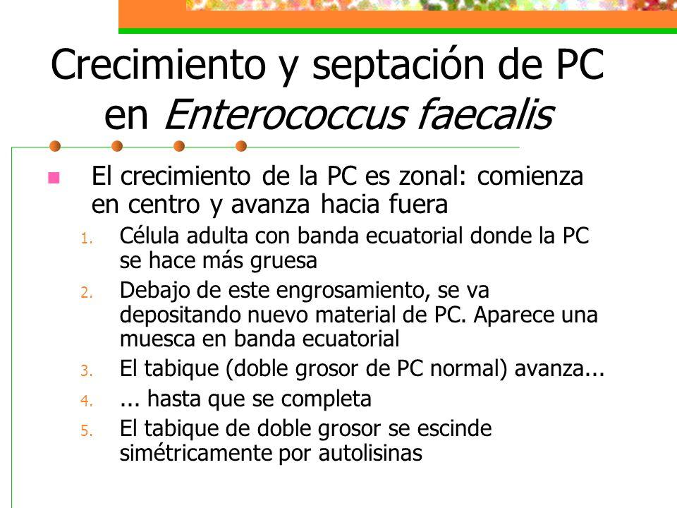 Crecimiento y septación de PC en Enterococcus faecalis