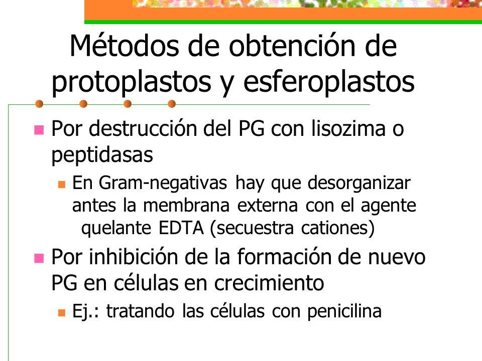 Métodos de obtención de protoplastos y esferoplastos