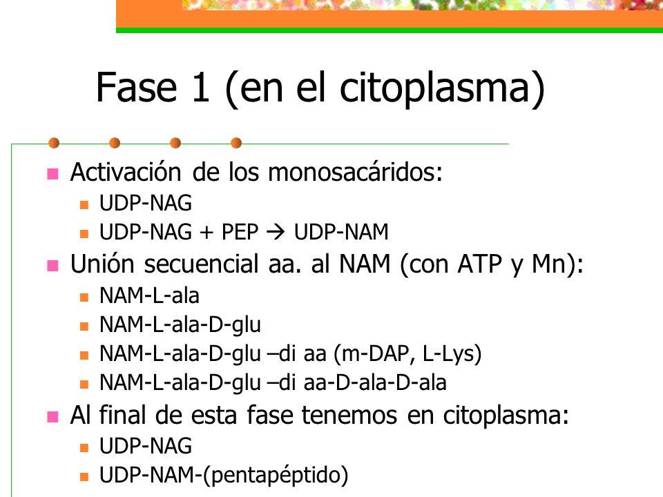 Fase 1 (en el citoplasma)