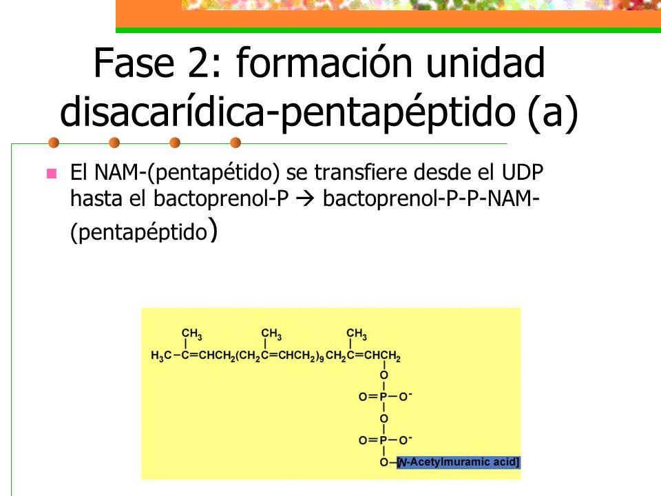 Fase 2: formación unidad disacarídica-pentapéptido (a)