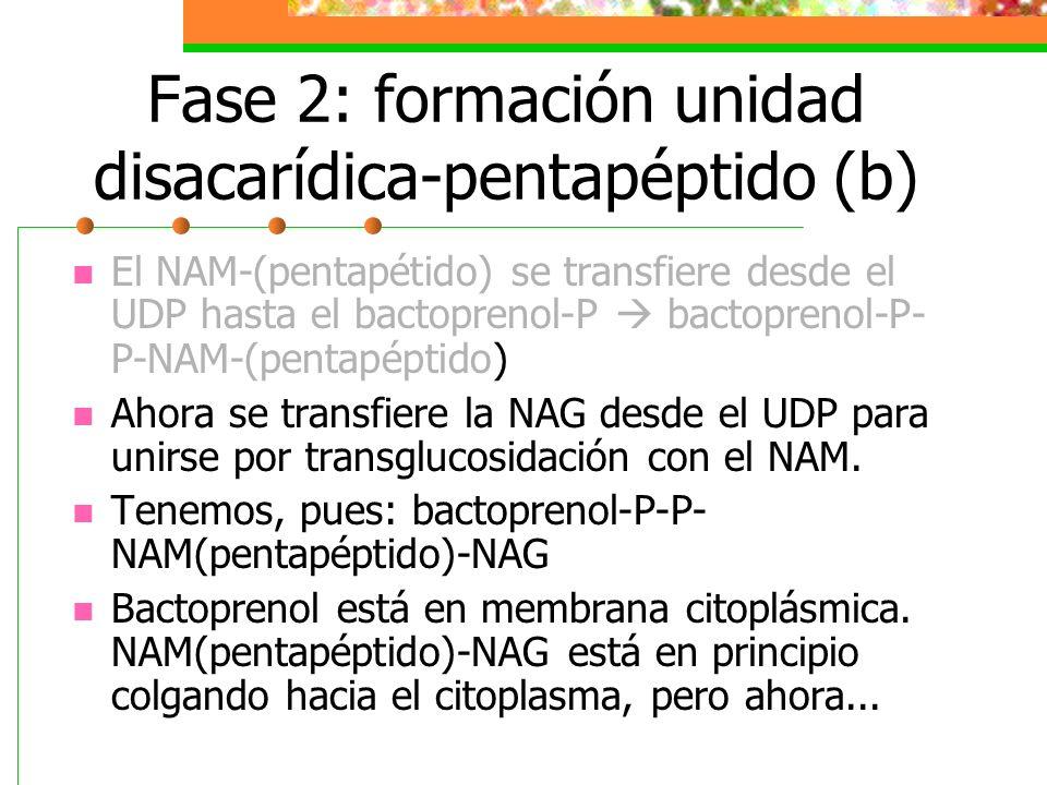 Fase 2: formación unidad disacarídica-pentapéptido (b)