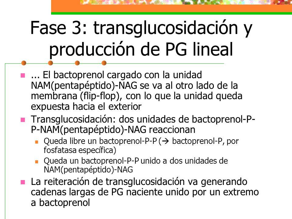Fase 3: transglucosidación y producción de PG lineal