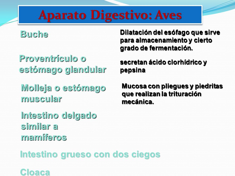 Aparato Digestivo: Aves