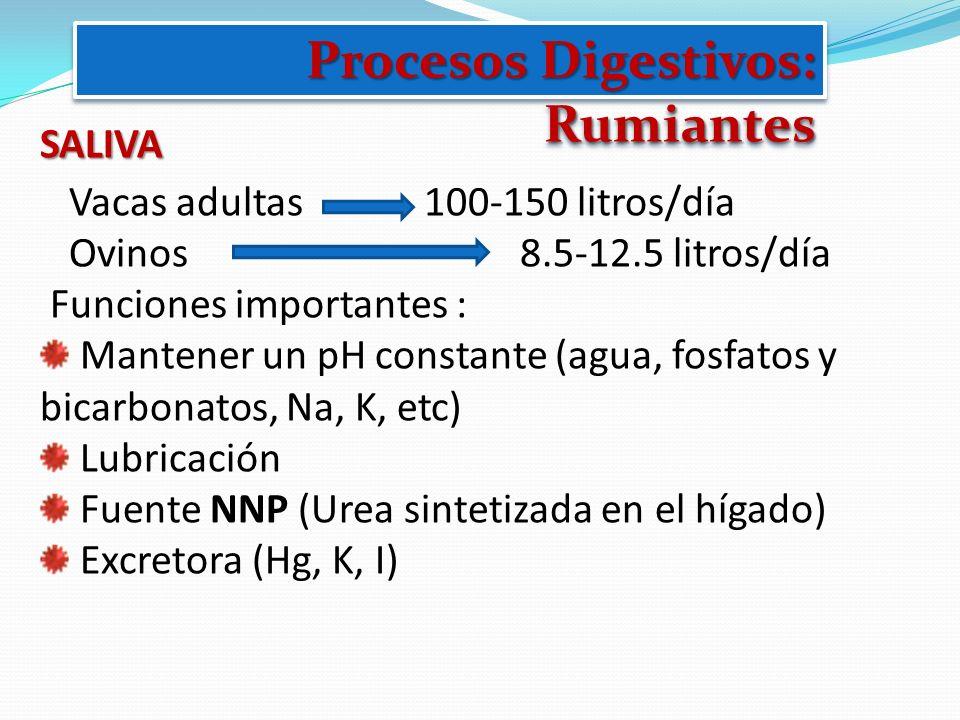 Procesos Digestivos: Rumiantes