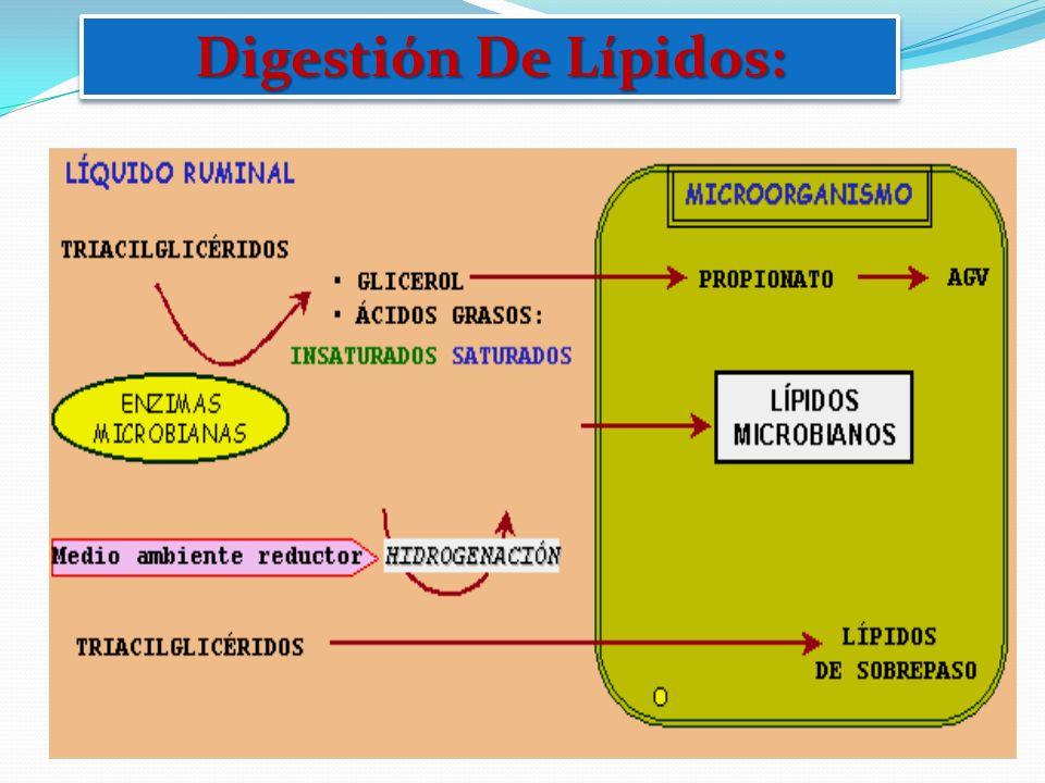 Digestión De Lípidos: