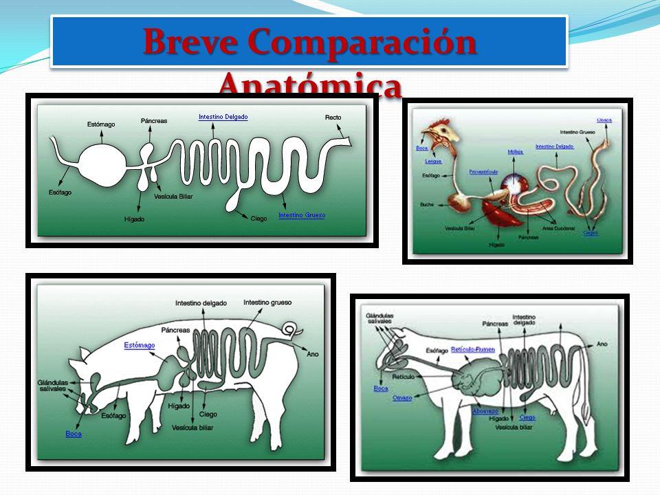 Breve Comparación Anatómica