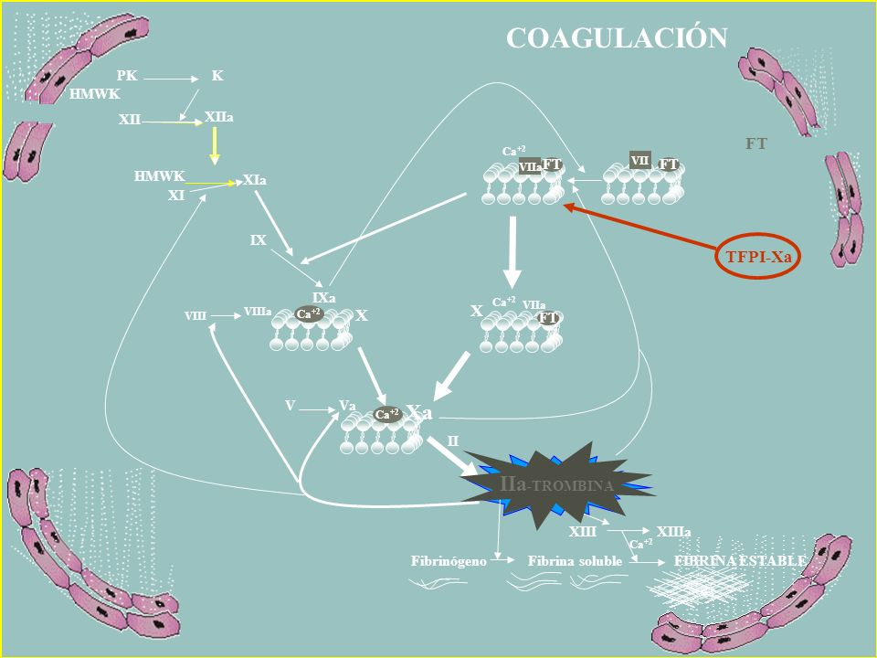 COAGULACIÓN Xa IIa-TROMBINA IIa-TROMBINA TFPI-Xa X PK K XII XIIa FT