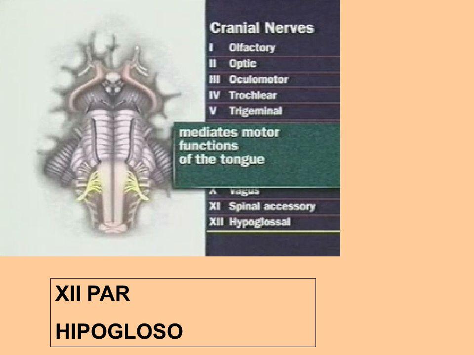XII PAR HIPOGLOSO